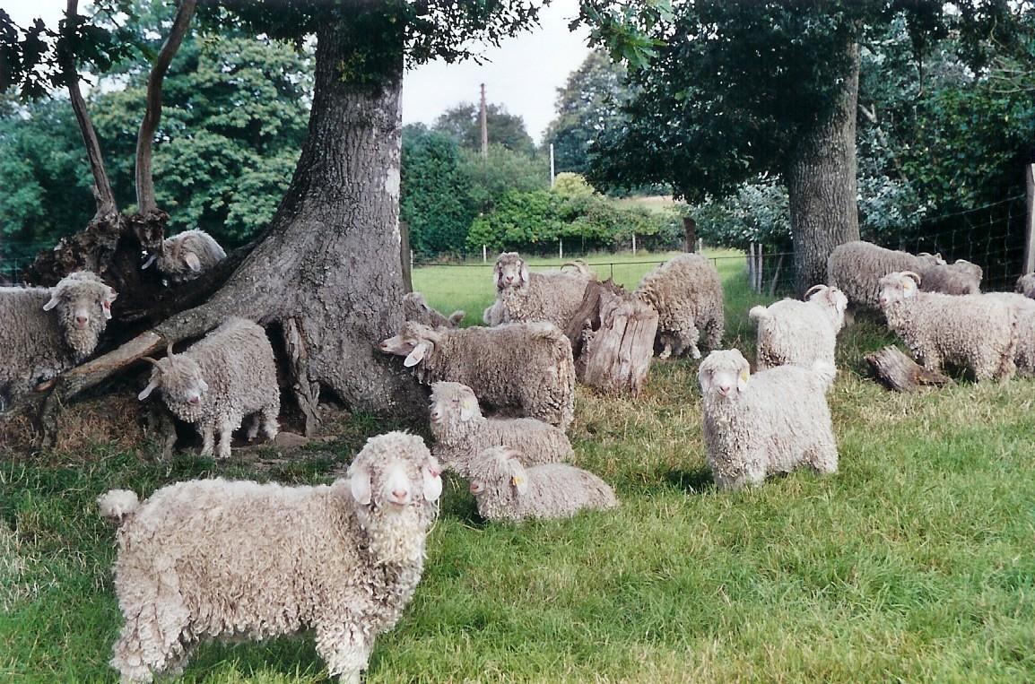 05.troupeau de chèvres