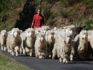 troupeau chèvres
