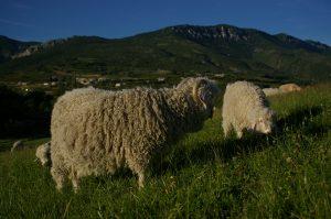Chèvres Angora . (2)
