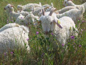 Chèvres angora dans la prairie