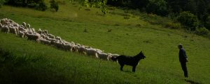 Troupeau Chèvres Angora